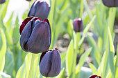 Tulip 'Pittsburg' in bloom in a garden