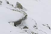 Mountain Hare (Lepus timidus) at winter white coat in snow, Alps, Switzerland.