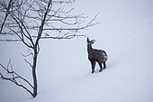 Alpine Chamois (Rupicapra rupicapra) Female in the snow, Jura, Switzerland.