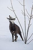 Alpine Chamois (Rupicapra rupicapra) Young in the snow, Jura, Switzerland.