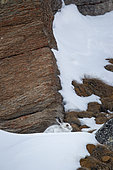 Mountain Hare (Lepus timidus) at shelter in autumn fur in the snow, Alps, Switzerland.