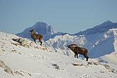 Alpine ibex (Capra ibex) couple in rut, Alps, Switzerland.