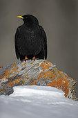 Alpine Chough (Pyrrhocorax graculus) on rock, Alps, Switzerland.