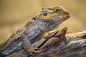 Central Bearded Dragon (Pogona vitticeps) on a branch in a terrarium, France