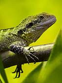 Eastern Water Dragon (Intellagama lesueurii) female on a branch in a vivarium. France