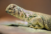 Oman Spiny-tailed Lizard (Uromastyx thomasi) in terrarium, France