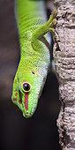 Madagascar Day Gecko (Phelsuma madagascariensis grandis) in a terrarium, France