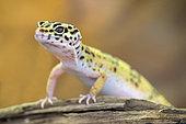 Leopard Gecko (Eublepharis macularius) in a terrarium, France