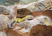 Leopard Gecko (Eublepharis macularius) on a low wall in a vivarium of the Alligator Bay Terrarium, Animal Park, Beauvoir, Normandy, France