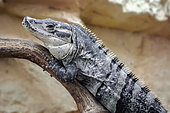 Spiny-tailed iguana (Ctenosaura sp) on a branch in a terrarium, Alligator bay, Wildlife park, Beauvoir, Normandy, France