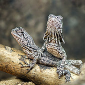 Frilled Lizard (Chlamydosaurus kingii) juveniles on a branch in a terrarium, France