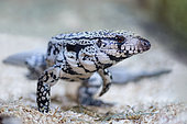 Argentine Tegu (Salvator merianae) walking in a terrarium, France.