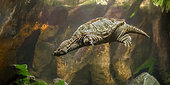 Snapping turtle (Chelydra serpentina) swimming in an aquarium at the Grand Aquarium of Touraine, Loire Valley Center Region, France