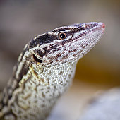 Portrait of Ridge-tailed Monitor (Varanus acanthurus) in a terrarium, France.