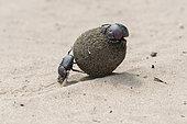 Sacred Dung Beetle (Scarabæus sacer), Santa-Lucia Peninsula, South Africa