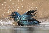 Glossy Starling (Lamprotornis chalybæus) bathing at the water's edge, KwaZulu-Natal, South Africa