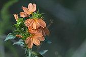 Firecracker Flower (Crossandra infundibuliformis),Santa-Lucia Peninsula, South Africa