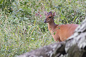 Red Duiker (Cephalophus natalensis), Santa-Lucia Peninsula, KwaZulu-Natal, South Africa