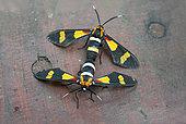 Pleasant Hornet Moth (Euchromia amœna) mating, Santa-Lucia Peninsula, KwaZulu-Natal, South Africa