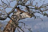 Giraffes (Giraffa camelopardalis) eating leaves, KwaZulu-Natal, South Africa