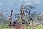 Giraffes (Giraffa camelopardalis) and Burchell's Zebras (Equus quagga burchellii) on a track, KwaZulu-Natal, South Africa