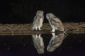 Spotted Eagle Owl (Bubo africanus) pair at the water's edge at night, KwaZulu-Natal, South Africa