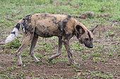 African Wild Dog (Lycaon pictus) walking, KwaZulu-Natal, South Africa