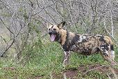 African Wild Dog (Lycaon pictus) yawning, KwaZulu-Natal, South Africa