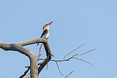 Brown-hooded Kingfisher (Halcyon albiventris) on a branch, KwaZulu-Natal, South Africa
