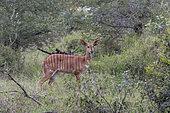 Nyala (Tragelaphus angasii) female in the bush, KwaZulu-Natal, South Africa