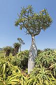 Madagascar Palm (Pachypodium lamerei), South Africa