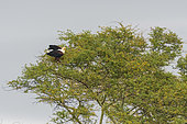 African Fish-Eagle (Haliæetus vocifer) on a tree, KwaZulu-Natal, South Africa