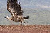 Vautour africain (Gyps africanus) s'envolant, KwaZulu-Natal, Afrique du Sud