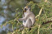 Vervet bleu (Chlorocebus pygerythrus) mangeant des fleurs d'Acacia (Acacia xanthophloea) , KwaZulu-Natal, Afrique du Sud