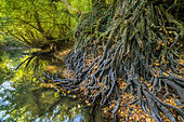 Wall of alder roots on the banks of the Seran in autumn, with their powerful intertwined roots, the alders play a vital role in the protection of the banks of rivers against erosion of floods, Natural Reserve of the Marsh of Lavours, Bugey, Ain , France