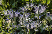 Alpine Sea holly (Eryngium alpinum) in bloom in summer, Vallon du Fournel : the largest site with blue thistles in the Alps, Deslioures Biological Reserve, Massif des Ecrins, Alps, France
