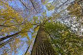 Canopy of an oak forest in autumn, Haute Savoie, France