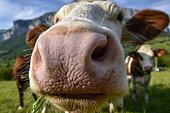 Abondance Heifer in close-up, Massif du Vercors, Isère, France
