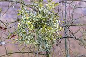 Pied femelle de Gui (Viscum album) en hiver, espèce dioïque, hémiparasite commun sur les feuillus et conifères, Savoie, France