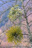 Pieds mâle et femelle de Gui (Viscum album) en hiver, espèce dioïque, hémiparasite commun sur les feuillus et conifères, Savoie, France