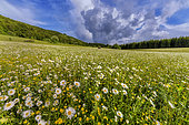 Field of Daisies (Leucanthemum vulgare) and storm approaching in the Jura, Col de Richemont, Haut Bugey, France