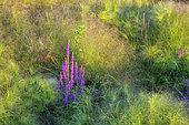 Switch grass (Panicum elegans) and Purple loosestrife (Lythrum salicaria), Haute Savoie, France