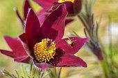 Pasque flower (Pulsatilla vulgaris) in bloom, Southern Jura, Haut Bugey, Ain, France