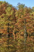 Bald Cypress (Taxodium distichum) in autumn. Pond of Boulieu, Isère, France. The Bald Cypress, or Louisiana Cypress, is a species of trees of the family Taxodiaceae native to the southeastern United States. It is a remarkable species for its adaptation to wetlands.