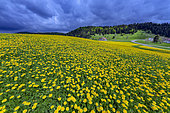 Spectacular flowering of dandelions to the Embossieux in the Jura, France