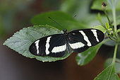 Heliconius Butterfly (Heliconius hewitsoni) open wings on a leaf, Greenhouse of the botanical garden of Nancy, Lorraine, France
