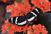 Heliconius Butterfly (Heliconius hewitsoni) open wings on fleurs, Greenhouse of the botanical garden of Nancy, Lorraine, France