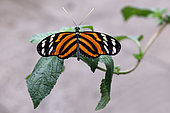 Ismenius tiger (Heliconius ismenius) open wings on a leaf, Greenhouse of the botanical garden of Nancy, Lorraine, France