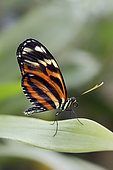 Ismenius tiger (Heliconius ismenius) closed wings on a leaf, Greenhouse of the botanical garden of Nancy, Lorraine, France