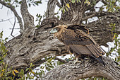Bateleur Eagle (Terathopius ecaudatus) on a branch in Kruger National park, South Africa